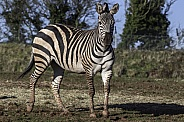 Grants Zebra Full Body