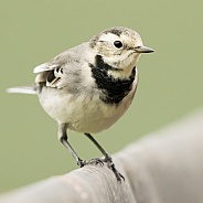 Pied Wagtail (winter plumage)