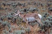 Pronghorn Female