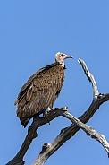 Lappetfaced Vulture - Savuti region of Botswana