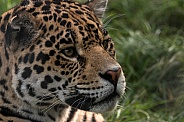 Jaguar Side of Face