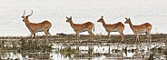 Red Lechwe antelopes - Botswana