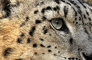 Eye of Snow Leopard