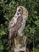 Hybrid Owl Species Looking Over Shoulder