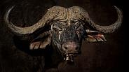 Buffalo Bull Portrait