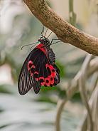 Scarlet Mormon Butterflyly