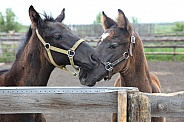 Thoroughbred foals
