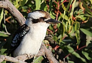 Kookaburra sitting in the Flowering Gum