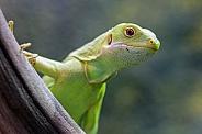 Fiji Iguana (Brachylophus fasciatus)