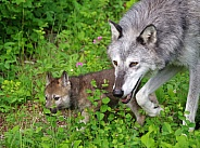 Tundra Wolf pup and adult