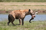 Spotted Hyena and meal