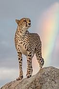 Cheetah with Rainbow
