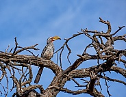 Yellow-billed Hornbill