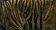 Sumatran Tiger Pattern