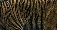 Sumatran Tiger Pattern