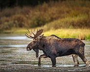 Bull Moose crossing river in Idaho