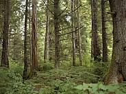 Coniferous forest - Alaska