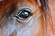 Arabian Mare Eye Study