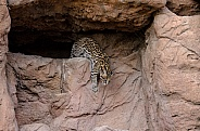 Ocelot Descending