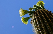 Saguaro Cactus Blooms and Buds