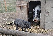 Miniature Pigs