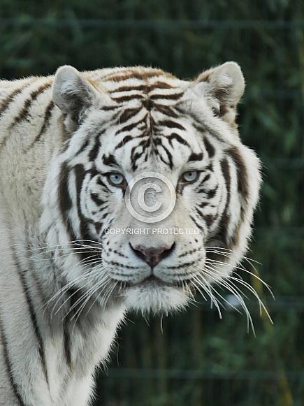 White Tiger (Amur)