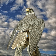 Prairie Falcon King