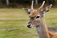Young persian fallow deer close up