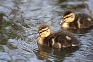 Mallard Ducklings