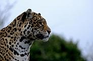 Jaguar facing right , portrait.