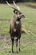 Sitatunga Male Full Body Portrait Shot