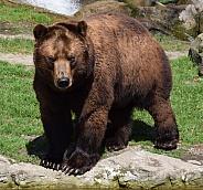 Male Kamtschatka Bear