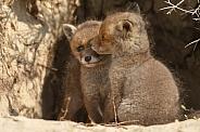 Two Red Fox Cub