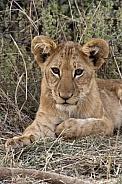 Lion cub (Panthera leo) - Botswana