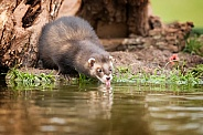 Male European Polecat Drinking