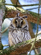 Long-eared Owl, male