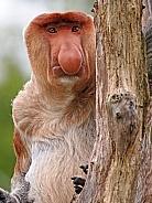 Probescis Monkey