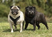 Two Pug Brothers