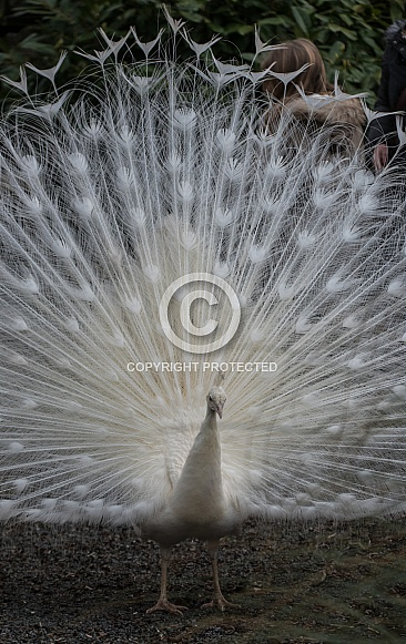 white peacock displaying