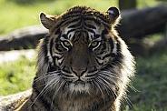 Sumatran Tiger Close Up Direct At Camera