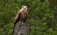 Black Kite On Tree Stump Full Body