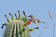 Cactus Wren on Saguaro Cactus