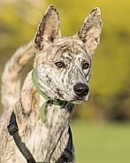 Brindle Crossbreed