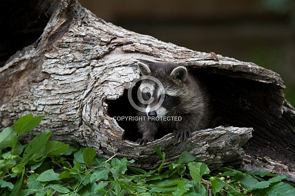 Baby Raccoon comes out of a Burrell