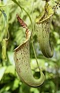 Carnivorous Pitcher Plants - Philippines