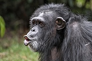 Chimpanzee Vocalising Pursed Lips