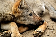Grey Wolf Pup (Canis lupus)