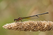 Orange treadtail damselfly