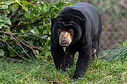 Sun Bear Full Body Walking Towards Camera