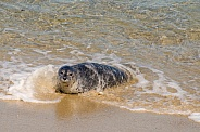 Harbor Seal Pup in the Beach Surf